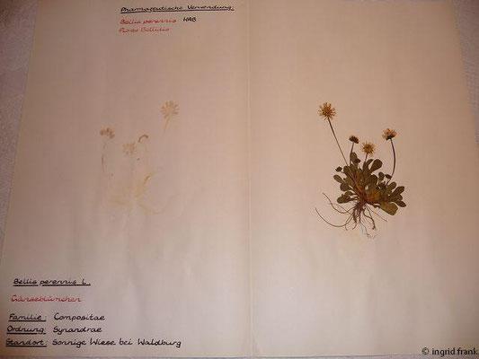 (124) Bellis perennis - Gänseblümchen