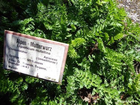 Ligusticum mutellina / Alpen-Liebstock