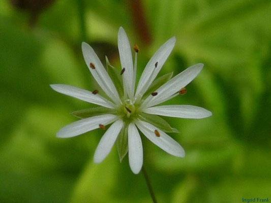 Stellaria graminea - Gras-Sternmiere