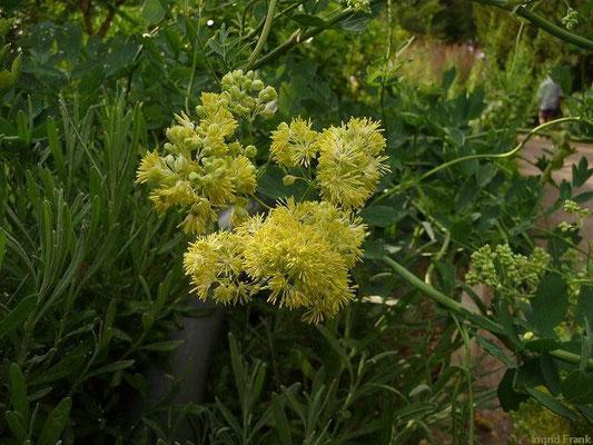 Thaliktrum flavum - Gelbe Wiesenraute