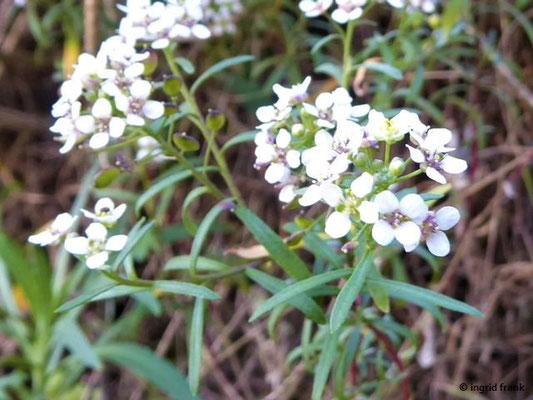 Lobularia canariensis ssp. canariensis - Kanaren-Silberkraut