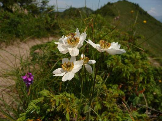 Anemonastrum narcissiflorum - Alpen-Berghähnlein