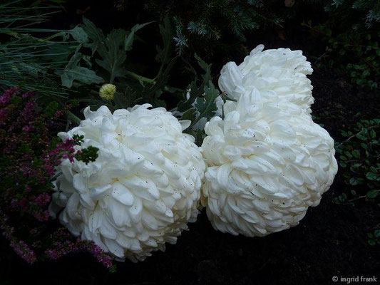 Chrysanthemum indicum hortensis -  Gärtner-Chrysantheme