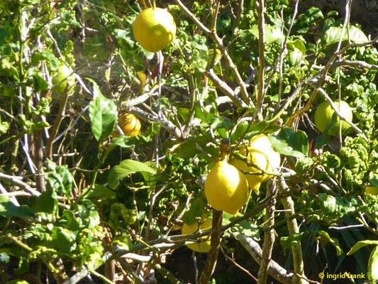 Citrus limon - Zitrone