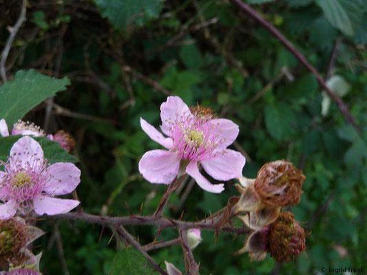 Rubus armeniacus  / Armenische Brombeere    (VI-)VII