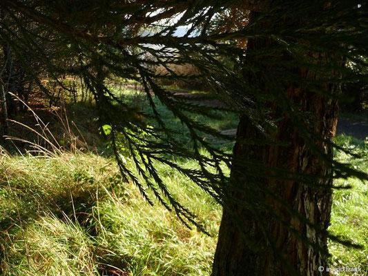 Sequoiadendron giganteum - Riesenmammutbaum (Schwäbische Alb, Heuberg)
