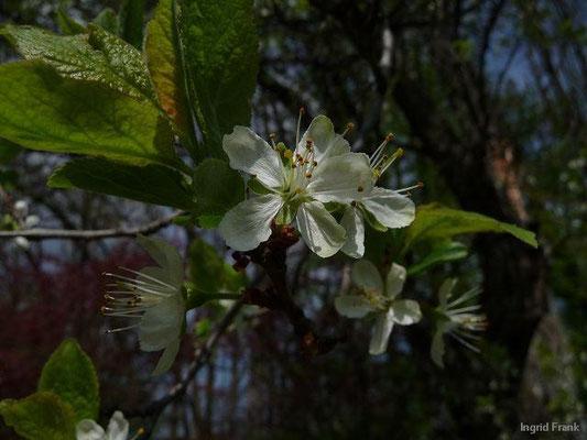 Prunus domestica - Zwetschge, Pflaume