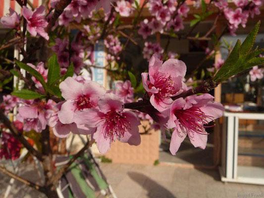 Prunus persica - Pfirsich    IV-V