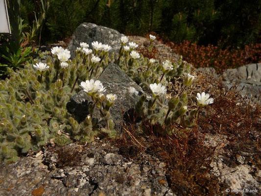 Cerastium alpinum ssp. lanatum - Wolliges Alpen-Hornkraut