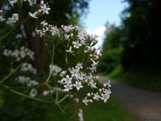 Valeriana officinalis - Arznei-Baldrian