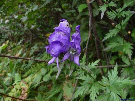 Aconitum napellus - Blauer Eisenhut