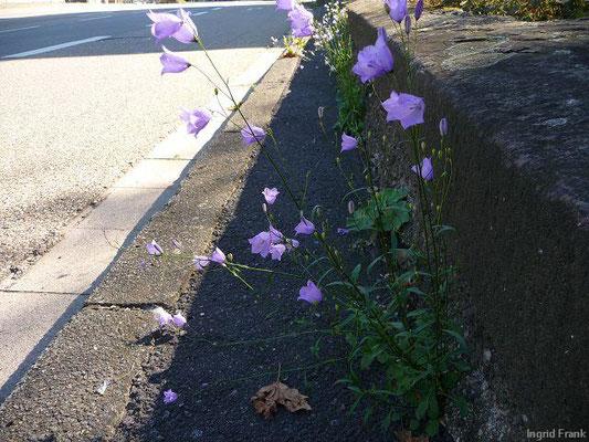 Campanula rotundifolia - Rundblättrige Glockenblume    VI-IX
