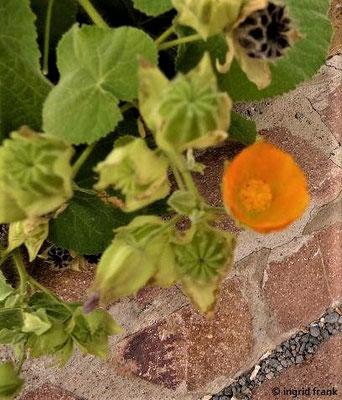 Abutilon grandifolium     III-VII