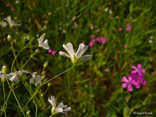 Gypsophila elegans u. Silene armeria - Ansehnliches Gipskraut u. Nelken-Leimkraut (Wildblumensaat)