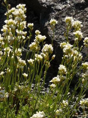 Draba siliquosa - Kärntner Felsenblümchen    V-VII