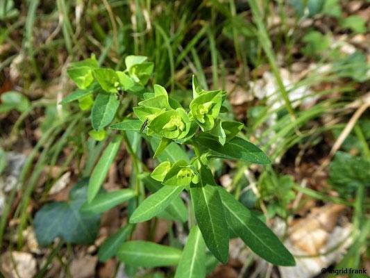 Euphorbia platyphyllos - Breitblättrige Wolfsmilch