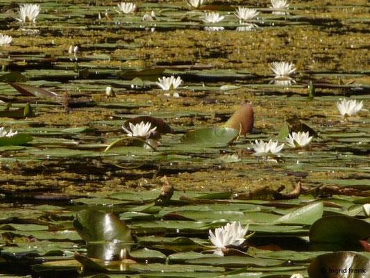 Nymphaea alba - Weiße Seerose