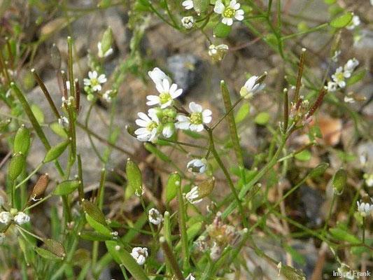 24.04.2012-Draba verna - Frühlings-Hungerblümchen