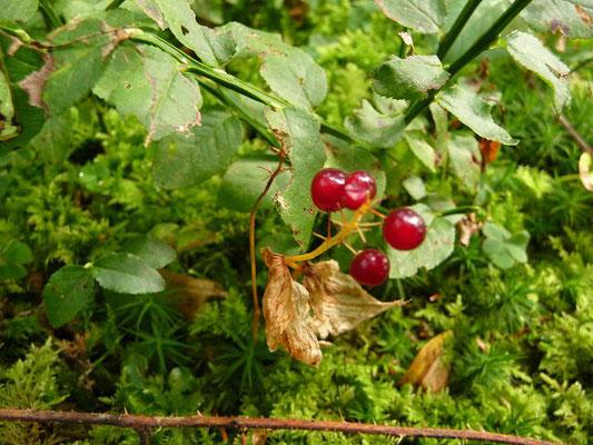 GIFTIG:  Zweiblättrige Schattenblume / Maianthemum bifolium   (22.09.2013)