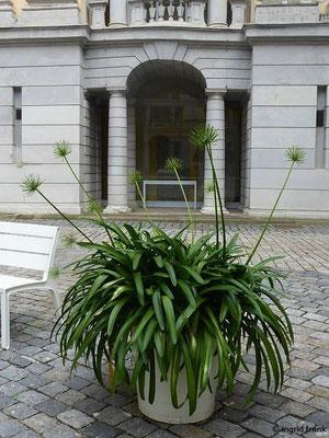 Abgeblühter Agapanthus im Arkadenhof der Residenz