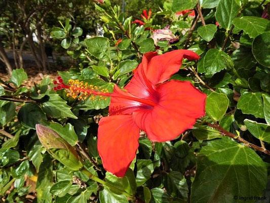 Hibiscus rosa-sinensis - Chinesischer Roseneibisch