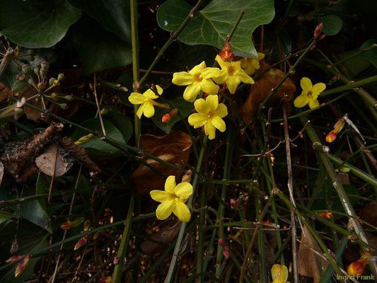 14.01.2012-Jasminum nudiflorum (Vorgarten in Ravensburg) - Winter-Jasmin