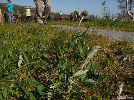 Cirsium heterophyllum - Verschiedenblättrige Kratzdistel