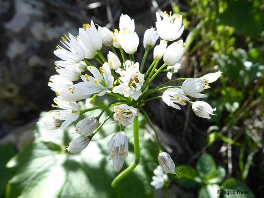 Allium villosum / Zottiger Lauch
