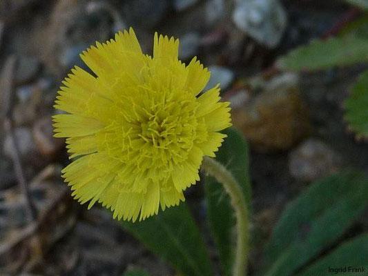 Hieracium pilosella - Kleines Habichtskraut, Mausohr