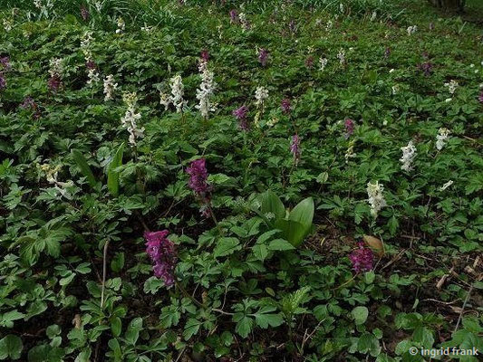 Corydalis cava / Hohler Lerchensporn