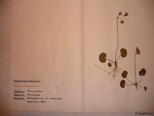 (87) Soldanella alpina - Alpen-Troddelblume