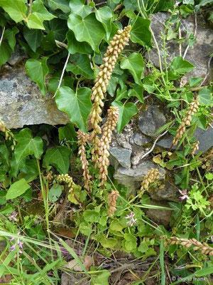 Umbilicus rupestris - Venusnabel, Hängendes Nabelkraut