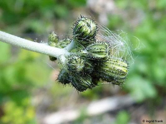 Pilosella piloselloides - Florentiner Mausohrhabichtskraut