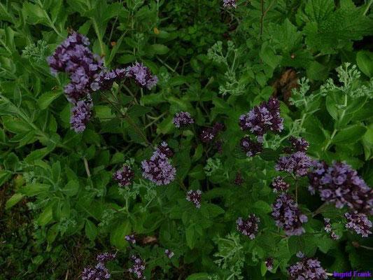 16.07.2010-Origanum vulgare - Gewöhnlicher Dost