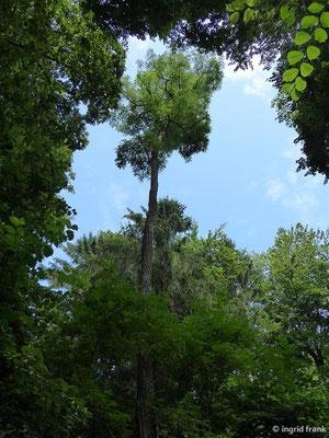 Robinia pseudoacacia - Robinie, Falsche Akazie