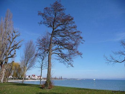 20.03.2011-Alnus glutinosa - Schwarz-Erle (im Strandbad Immenstaad)