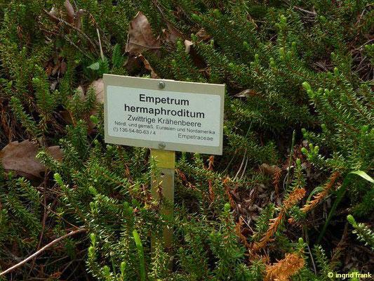 Empetrum hermaphroditum / Zwittrige Krähenbeere (Botanischer Garten Berlin)