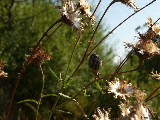 Centaurea scabiosa -Skabiosen-Flockenblume