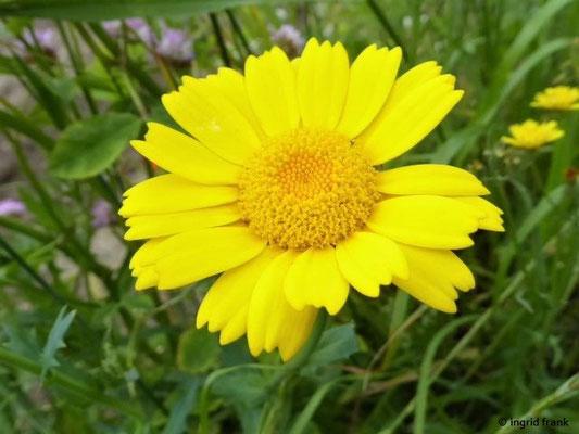Glebionis segetum - Saat-Wucherblume