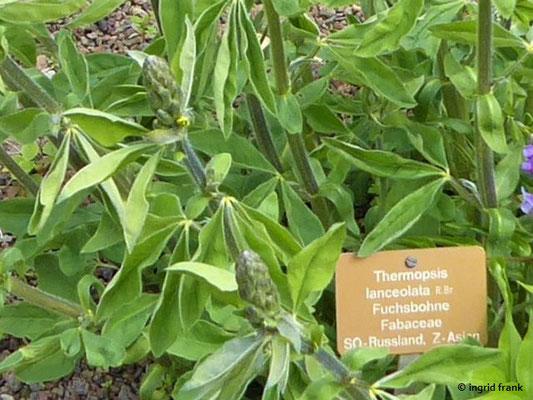 Thermopsis lanceolata - Fuchsbohne