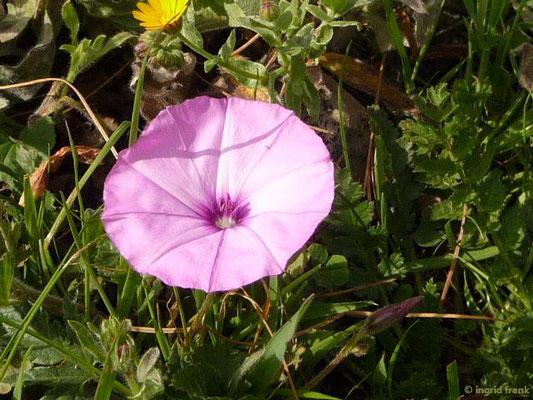 Convolvulus althaeoides - Eibischblättrige Winde (La Gomera)
