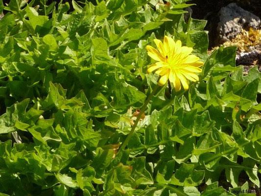Aposeris foetida / Hainsalat, Stinksalat (Botanischer Garten Adorf im Vogtland)