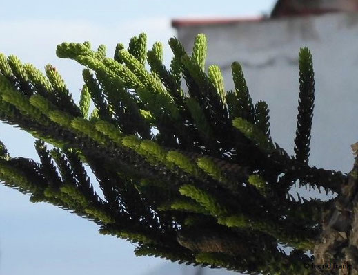 Araucaria heterophylla - Norfolk-Tanne