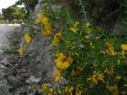 Calicotome villosa - Behaarter Dornginster (Griechenland)