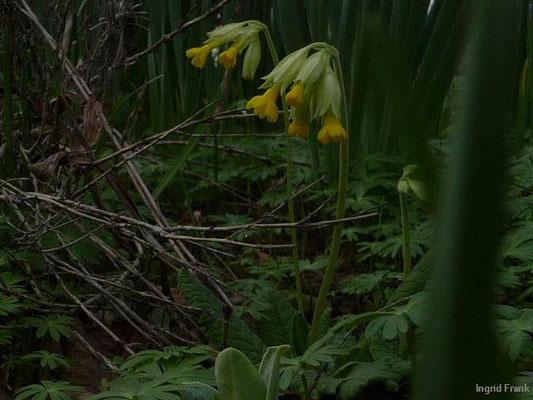 15.04.2010-Primula veris - Duftende Schlüsselblume, Wiesen-Schlüsselblume