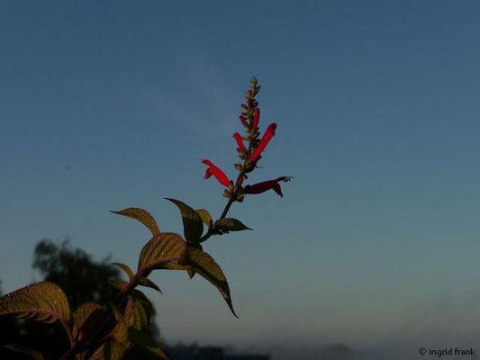 Salvia elegans / Ananas-Salbei