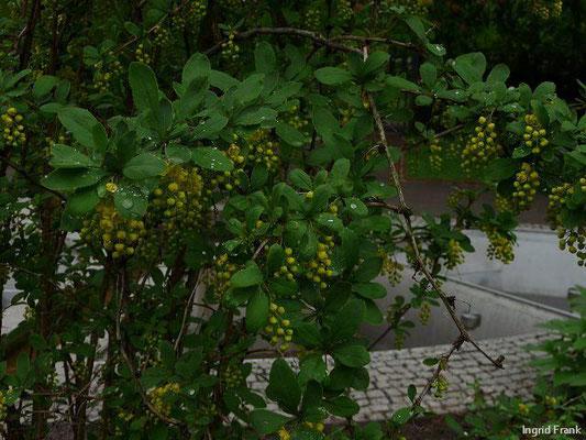 Berberis vulgaris - Gewöhnliche Berberitze  (IV-VI)
