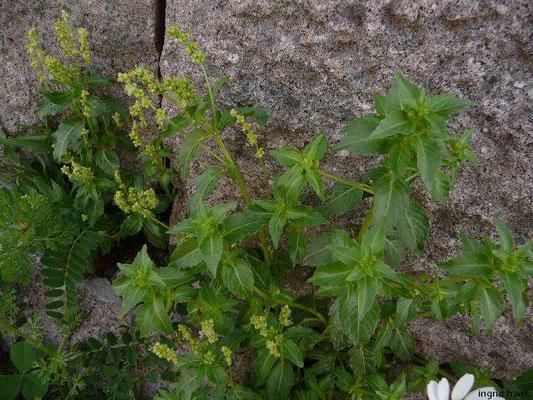 Mercurialis annua / Einjähriges Bingelkraut