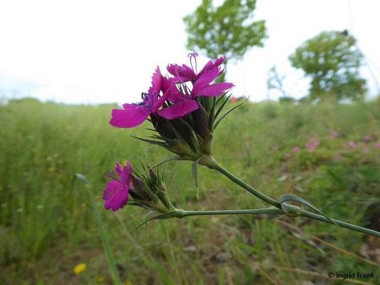 Dianthus balbisii / Balbis Nelke   (Toskana)   VI-XI