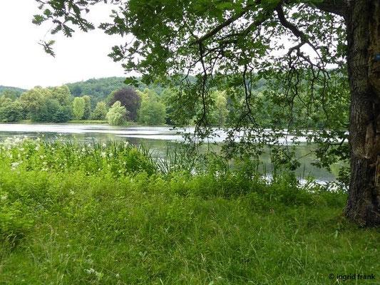 Im Greizer Schlosspark: Quercus frainetto - Ungarische Eiche